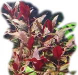 Alternanthera cardinalis - breitblättriges Papageienblatt