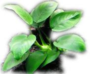 Anubias Nana - gewelltes Zwergspeerblatt