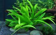 Echinodorus quadricostatus - Xingu-Zwergschwertpflanze