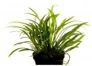 Echinodorus Tenellus - Gras Zwergschwertpflanze