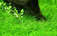 Eleocharis pusilla / parvula - Zwergnadelsimse