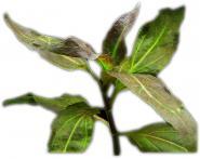 Gymnocoronis Spilanthoides 5 cm Topf