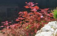 Ludwigia sp. Super Red - Kleine Tiefrote Ludwigie