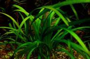 Sagittaria Subulata - Zwergpfeilkraut