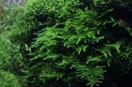 Vesicularia montagnei - Christmas Moos