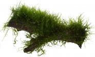 Taxiphyllum barbieri  / Versicularia Dubyana - Javamoos
