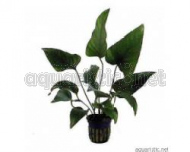 Anubias Hastifolia 5 cm Pot