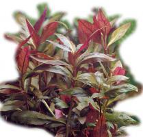 Alternanthera Lilacina 5 cm Topf