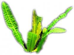 Aponogeton Boivianus Knolle