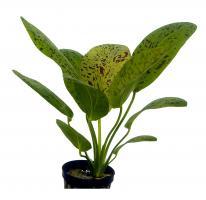 Echinodorus Ozelot Grün 5 cm Topf