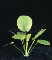 Echinodorus Cordifolius 5 cm Topf
