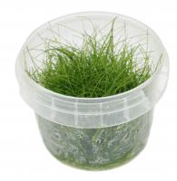 Eleocharis sp. Mini In-Vitro Cup