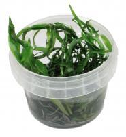 Heteranthera Zosterifolia In-Vitro Becher