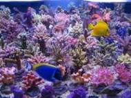 Korallen-Zucht T5 Coral Light Fiji Purple 54 W - 1149 mm