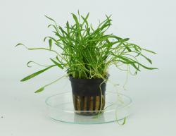 Lilaeopsis Brasiliensis / Novae-Zelandiae 5 cm Topf