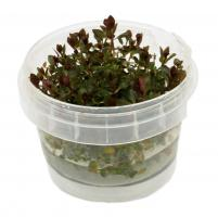 Ludwigia sp. Super Red In-Vitro Becher