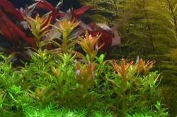Rotala Indica/Rotundifolia 5 cm Topf