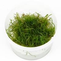 Taxiphyllum barbieri  / Versicularia Dubyana In-Vitro Becher