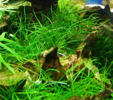 Eleocharis sp. Mini