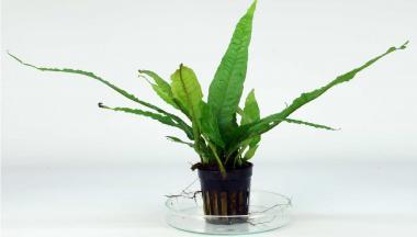 Microsorum Pteropus - Javafarn