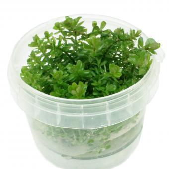 Rotala Indica/Rotundifolia In-Vitro Cup