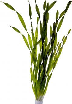 Vallisneria asiatica 5 cm Topf
