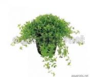 Micranthemum micranthemoides 5 cm Topf
