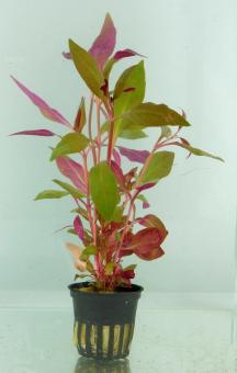 Alternanthera cardinalis 5 cm Topf