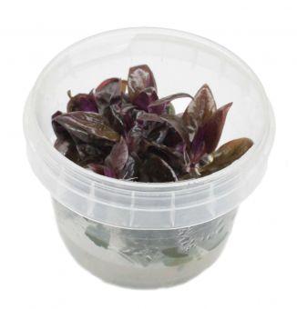 Alternanthera reineckii Purple In-Vitro Becher