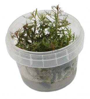 Proserpinaca Palustris In-Vitro Cup