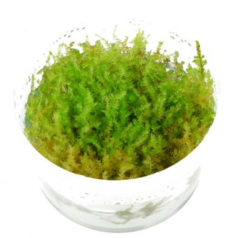 Vesicularia montagnei In-Vitro Cup