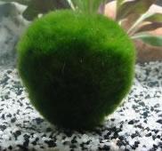 Cladophora aegagrophila (Aegagropila linnaei)- moss ball