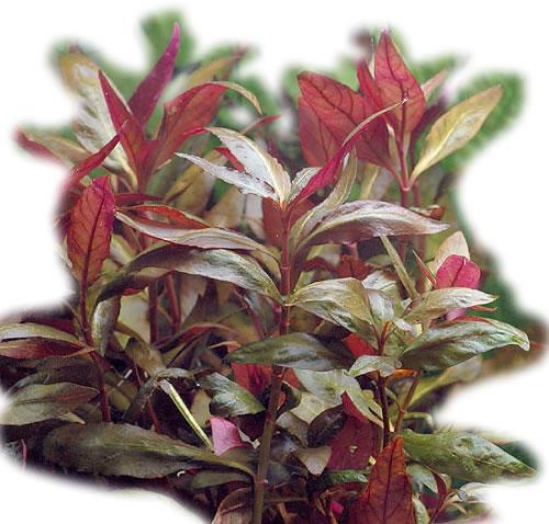 Alternanthera Lilacina 5 cm Pot