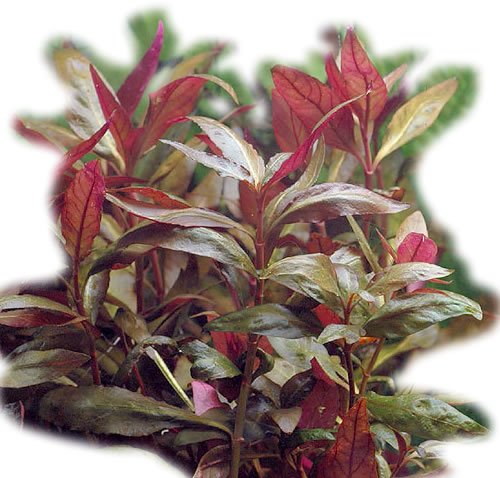 Alternanthera Lilacina - Lilablättriges Papageienblatt