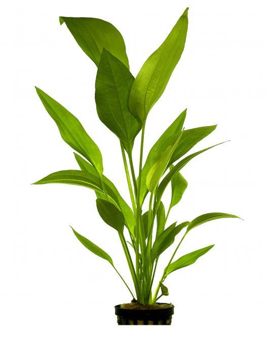 Echinodorus Parviflorus 5 cm Pot
