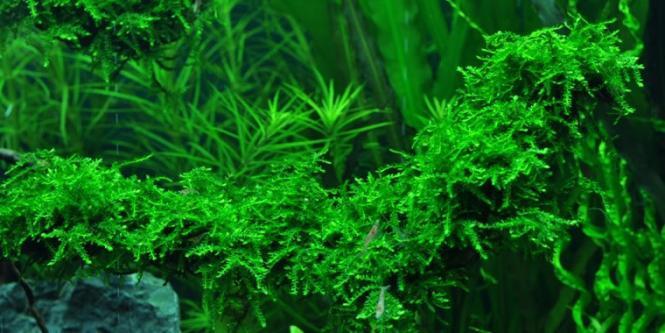 Vesicularia ferriei - Weeping moss