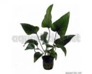 Anubias hastifolia - Spiesbl�ttriges Speerblatt
