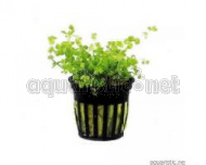 Micranthemum umbrosum - zierliches Perlkraut - 5 cm Topf