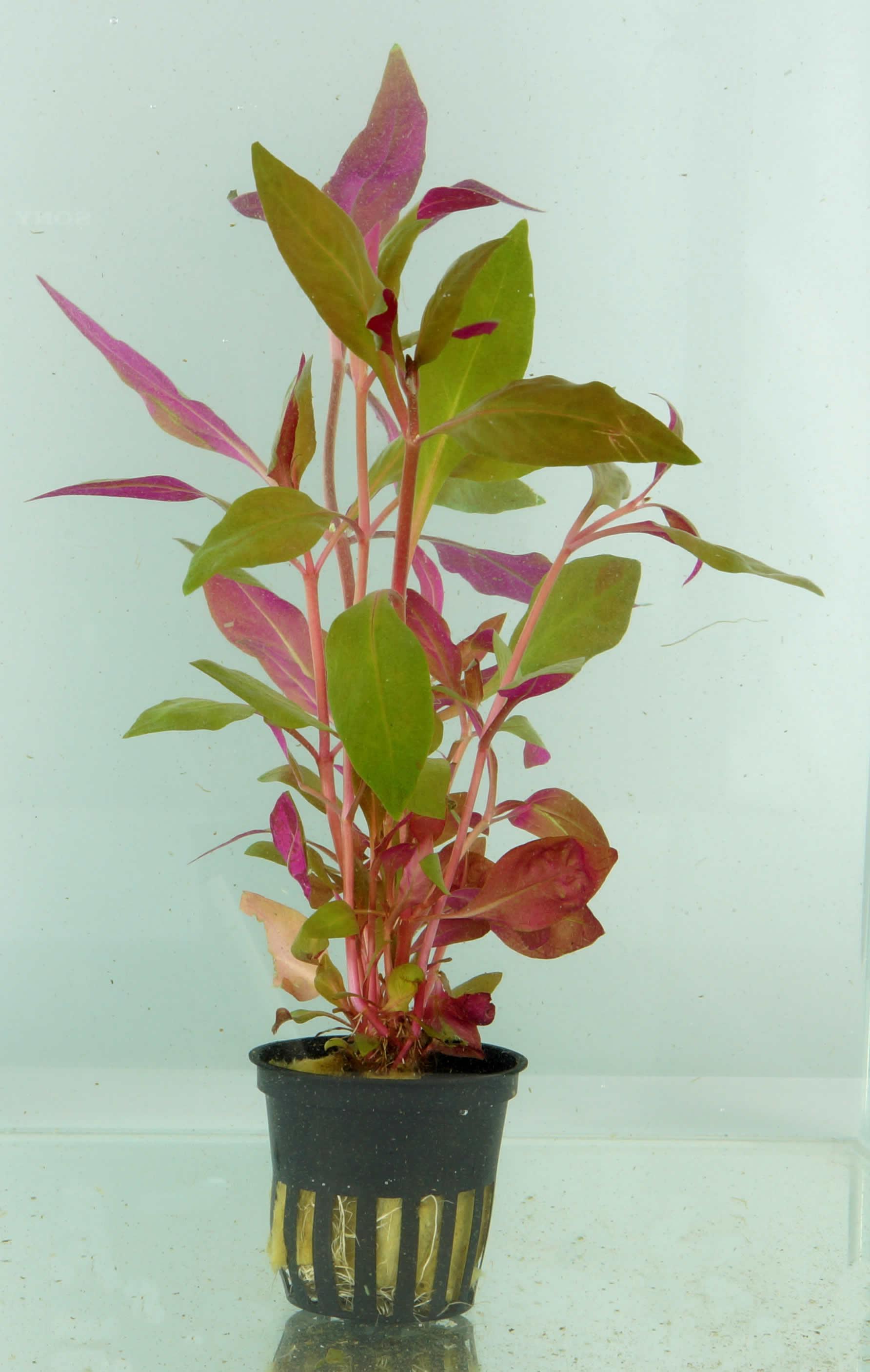 Alternanthera cardinalis - breitbl�ttriges Papageienblatt - 5 cm Topf