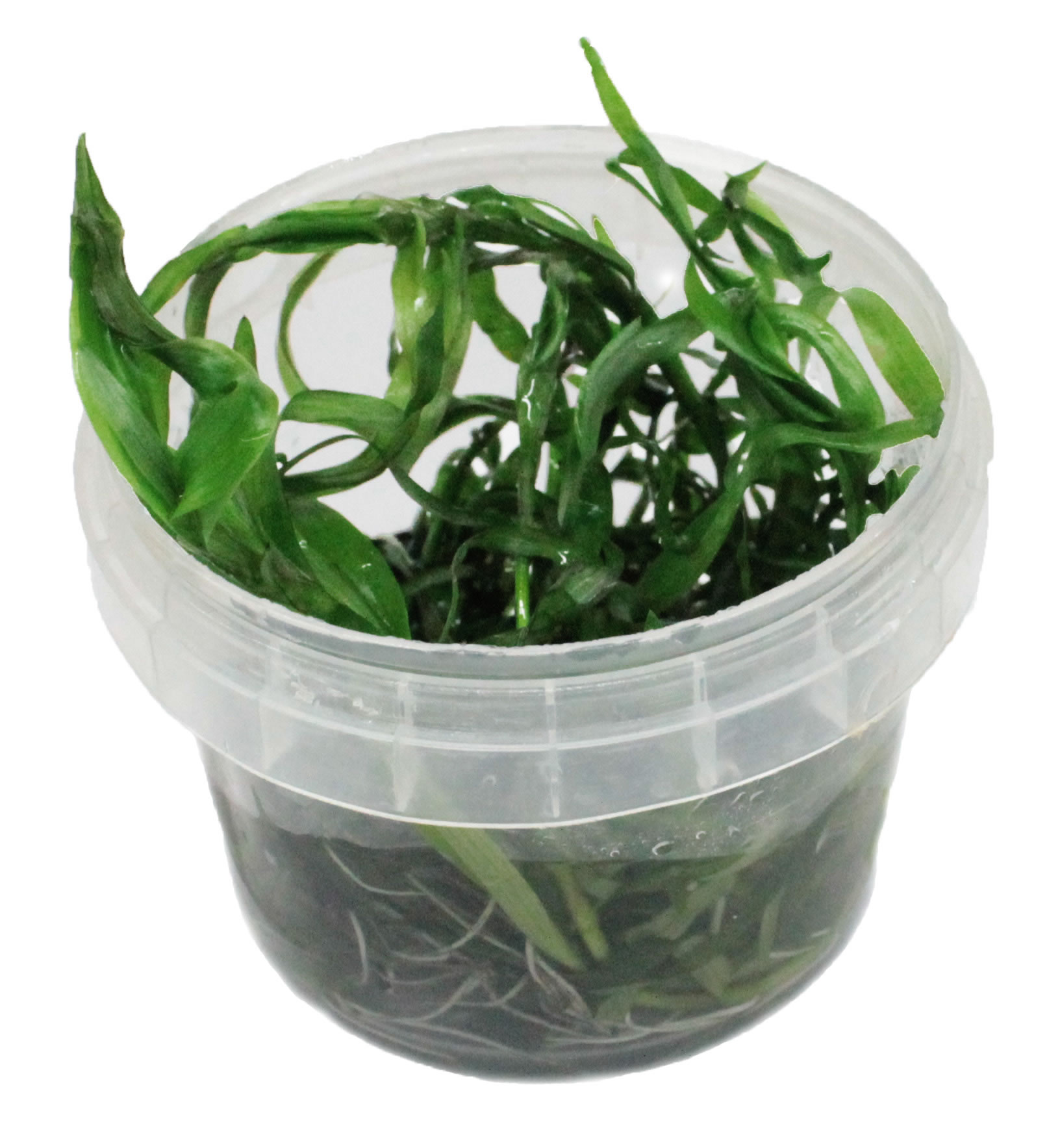 Heteranthera Zosterifolia In-Vitro Becher (aquaristic.net)