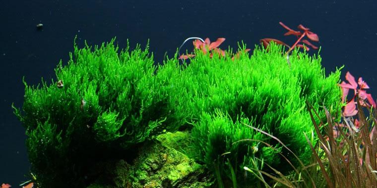 Tropica 1-2-GROW! Taxiphyllum sp. Flame - Flame-Moos- In-Vitro Aquariumpflanze
