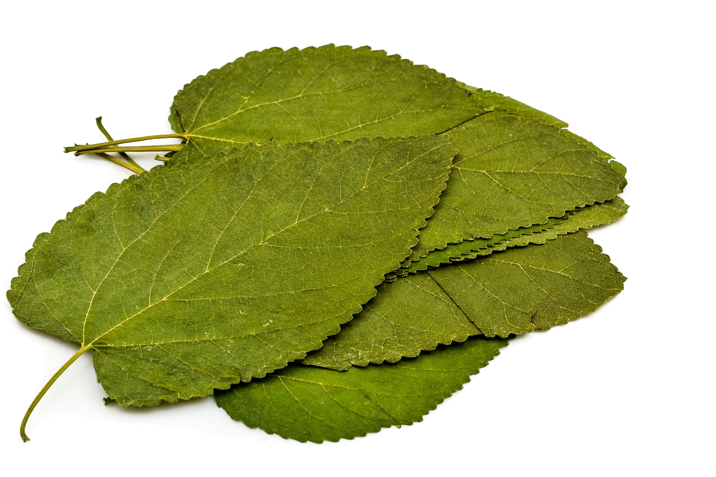Terra Natur Maulbeeren Blätter - 12 Blatt