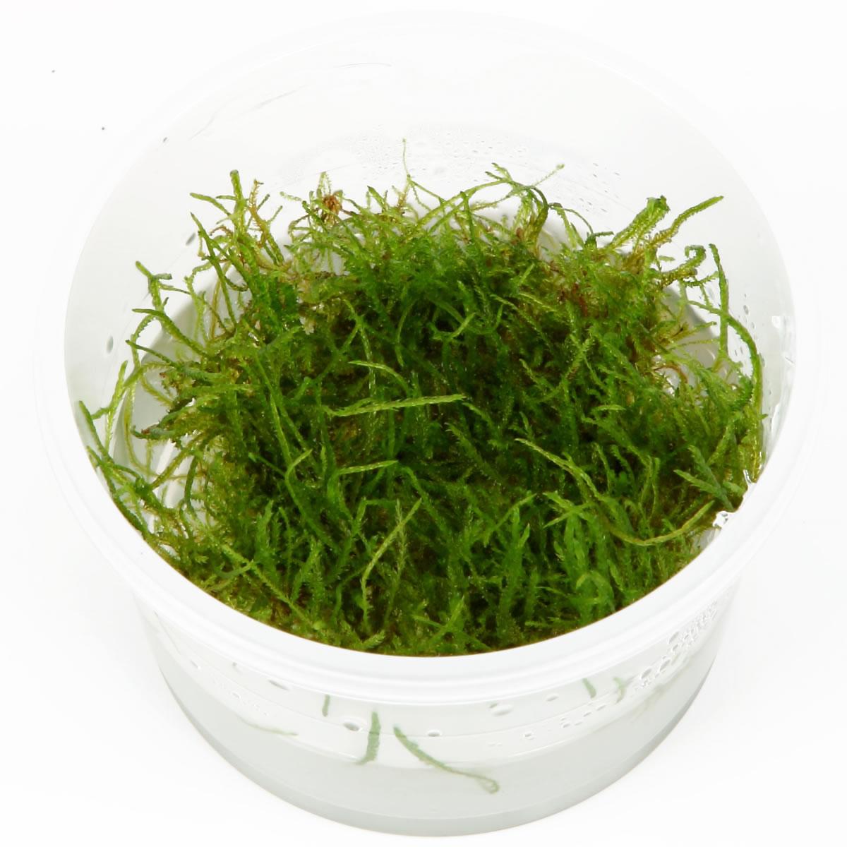 Taxiphyllum barbieri (Vesicularia Dubyana) - Javamoos